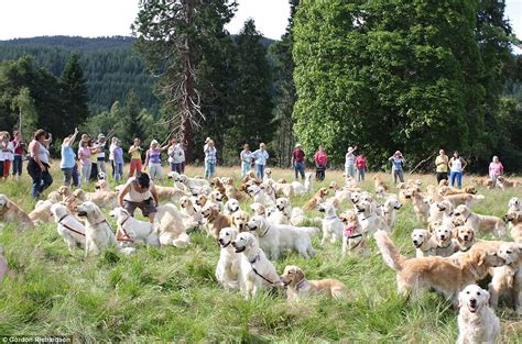 golden retriever club of scotland 101 dalmatians they ve got nothing on us 222 golden retrievers gather outside the