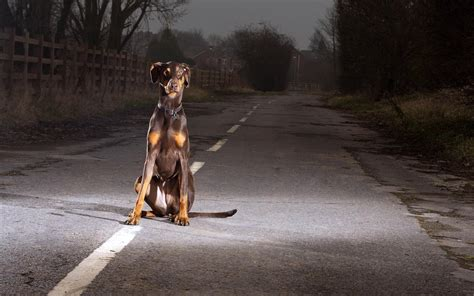 how to doberman to be a guard doberman guard photos wallpapers hd desktop and mobile backgrounds
