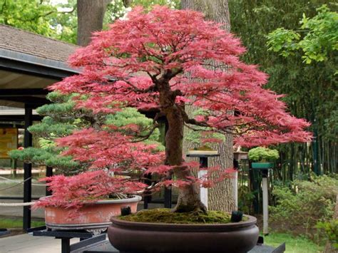 bonsai with japanese maples what you have to know when growing and caring japanese maple bonsai tree beabeeinc