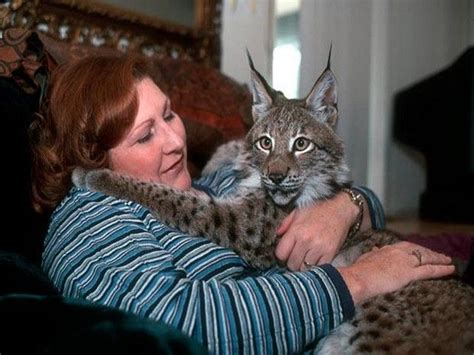 exotic house cats exotic domestic cats fluffy felines pinterest