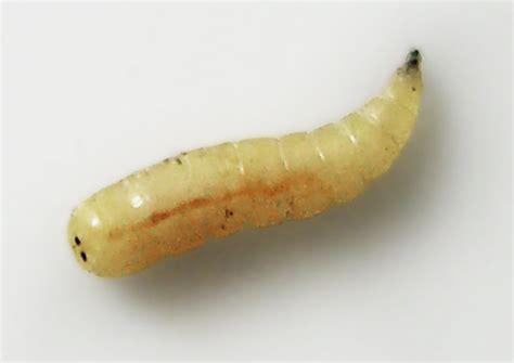 fliegenlarven in der wohnung housefly maggot meal feedipedia