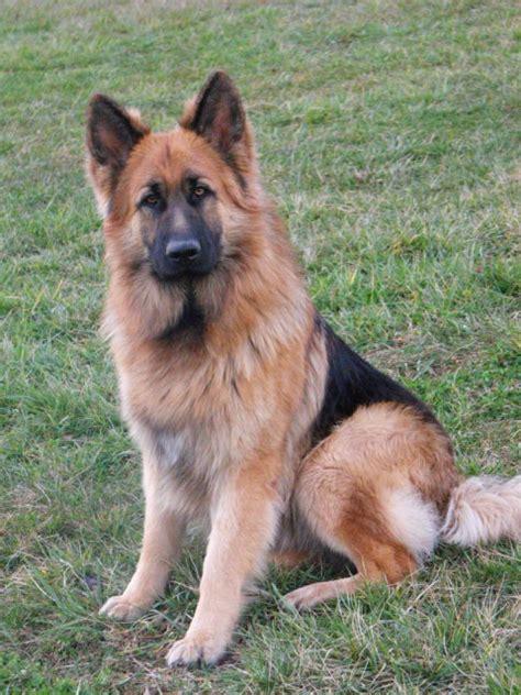king german shepherd best 25 king shepherd ideas on king german shepherd shepherd and
