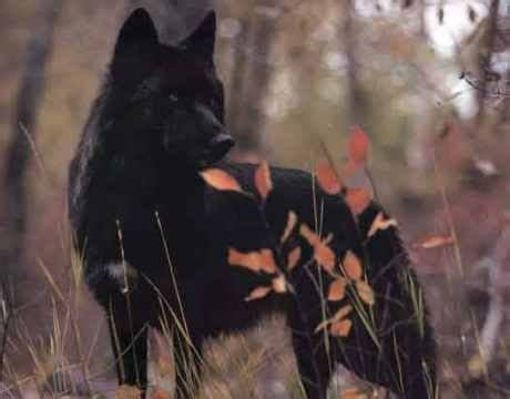 5 11 Black Wolf Black 25 best ideas about black wolves on wolves