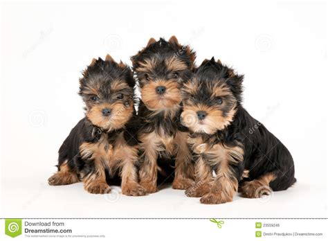 pet stores that sell teacup yorkies yorkie with umbrella image breeds picture