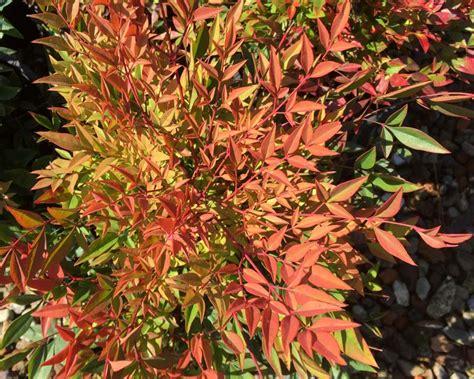 gardensonline nandina domestica cultivars