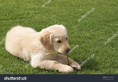 golden retriever paw problems small obedient golden retriever puppy lying on the green grass holding a plant in his