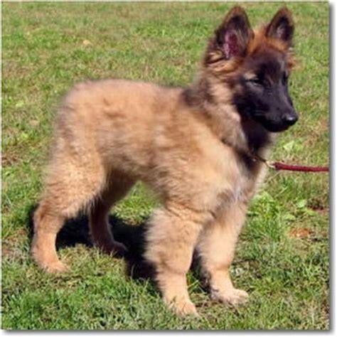 tervuren puppy belgian tervuren purebred puppy