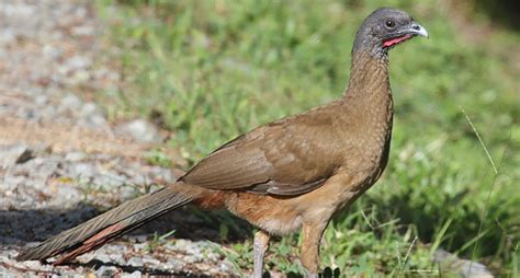 Tips For Small Spaces - hunting the texas chachalaca wide open spaces