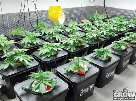 grow marijuana indoors