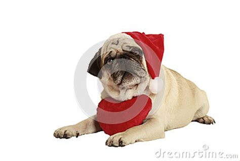 pug in santa costume pug santa claus cap royalty free stock photos image 33410068