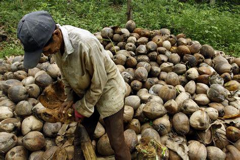 Harga As Kelapa Kering petani kelapa kering kopra di kecamatan soropia konawe