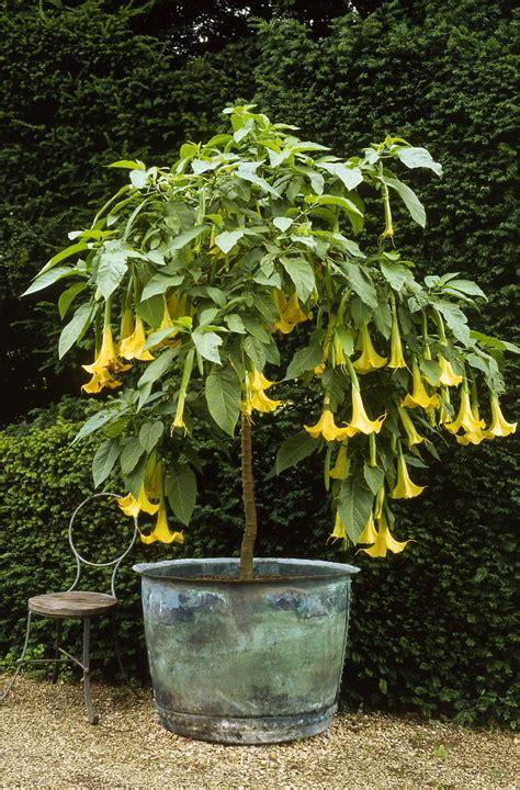 angel trumpet plants s trumpet brugmansia