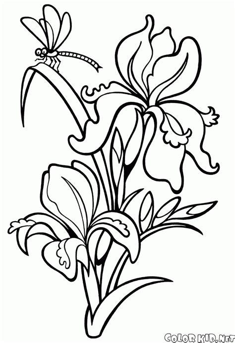 Junder Iris malvorlagen schwertlilie