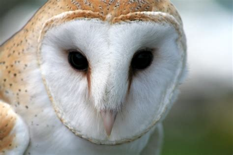 Are Barn Owls Endangered barn owl the endangered species in illinois photo wei