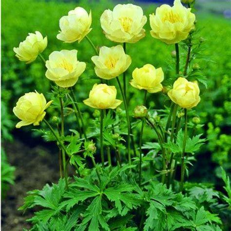 top 28 yellow perennials zone 5 top 28 yellow perennials zone 5 chrysogonum coreopsis