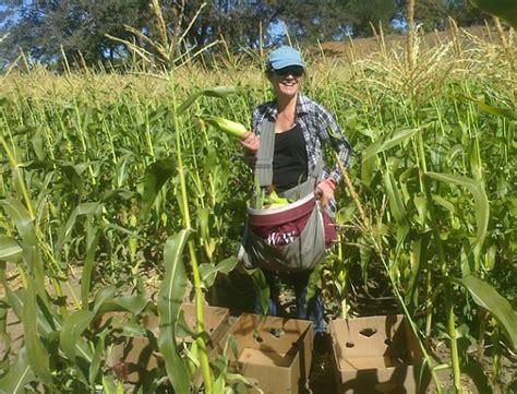 Pakan Ternak Pengganti Jagung cara menanam jagung manis yang baik dan benar