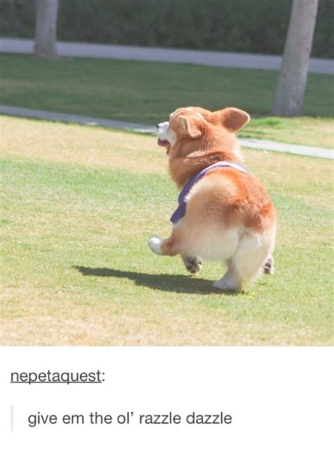 corgi leading pugs 21 corgi posts that will make you let out a high pitched squeal are you a leader or