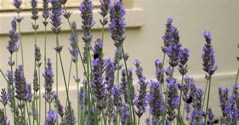 can you grow a lavender plant indoors ehow uk