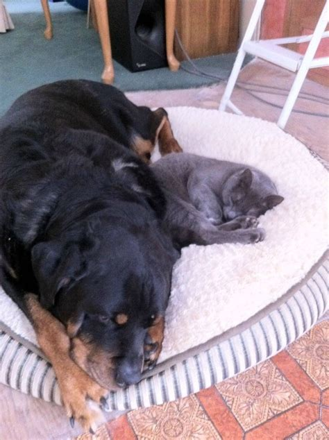 are rottweilers with cats 30 ferociously adorable rottweilers will melt your