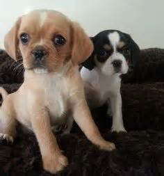 pug cross cavalier for sale puppys king charles spaniels and king on