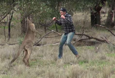 punches kangaroo to save australian punches kangaroo in to save outdoorhub