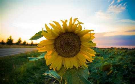 kansas images kansas sunflowers hd wallpaper and cool sunflower background screen hd wallpapers hd