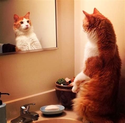 Cat Mirror cats part 88 40 pics 10 gifs amazing creatures