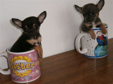 tiny chihuahua puppies tiny tiny teacup chihuahua puppies stanmore middlesex pets4homes