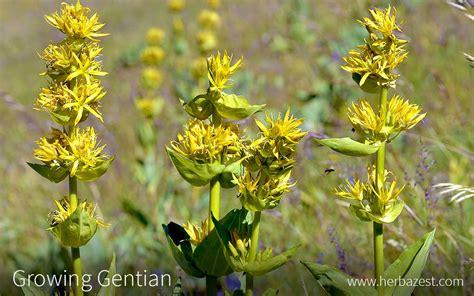 growing gentian herbazest