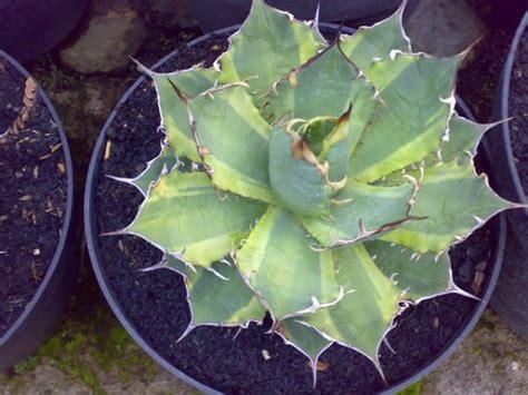 Tanaman Hias Bunga Anthurium Big budidaya tanaman hias bunga potong kota batu