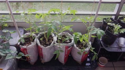 balcony vegetable garden experiment update   YouTube