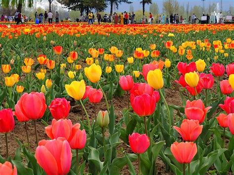 Tulip Flower Garden In India Kashmir Diary 26 03 2013 08 04 2013 Page 2 India Travel Forum Indiamike
