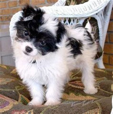 chihuahua yorkie poodle mix schnauzer mix poodle chihuahua schnauzer mix yorkie terrier