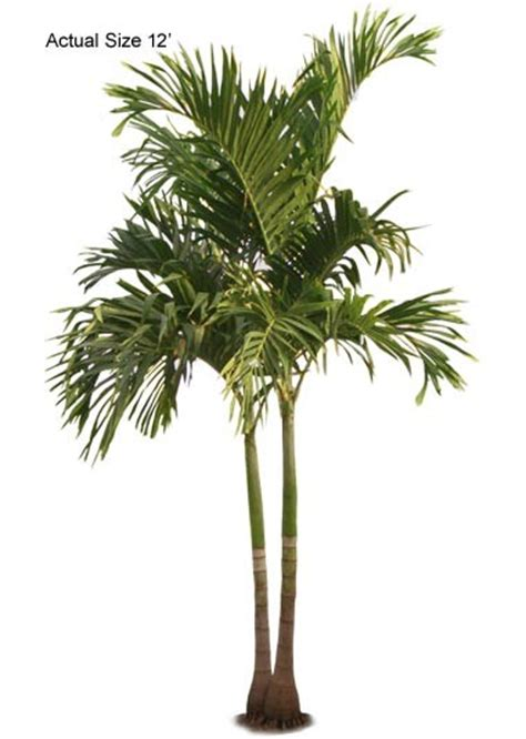 multi stem christmas palm veitchia merrillii adonidia