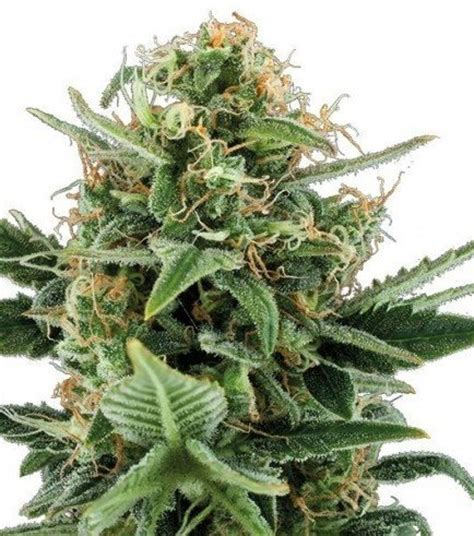 banche semi cannabis herer autofiorente zativo seeds zativo