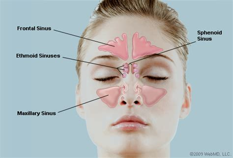 sinus passages diagram what are the sinuses pictures of nasal cavities