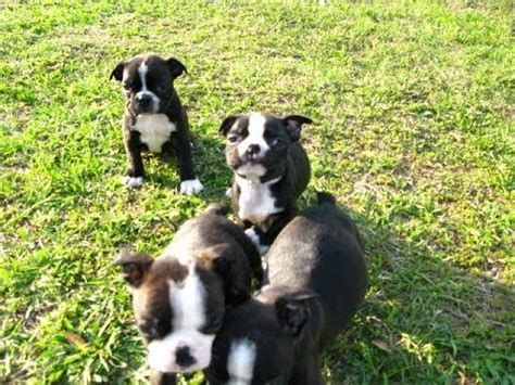 yorkie puppies for sale in charleston sc cavalier king charles spaniel puppies for sale in columbia south