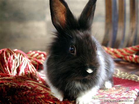 black and white rabbit wallpaper baby lionhead bunnies studio photography of bunny