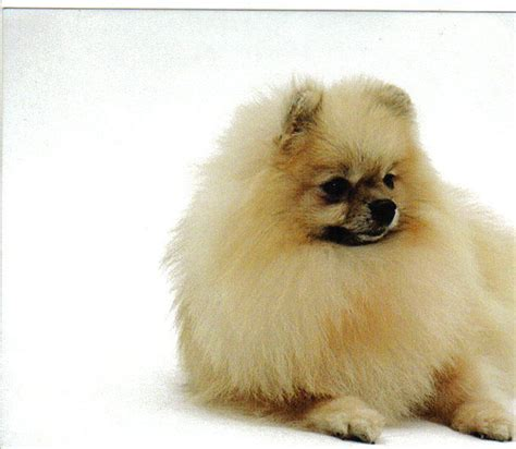 the pomeranian club pomeranian colours pomeranian club of south wales breeds picture