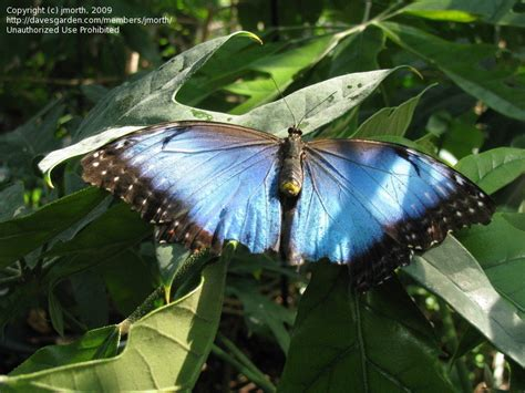 butterfly house st louis bug pictures common blue morpho morpho peleides by nutsaboutnature