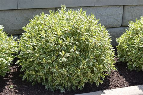 ivory halo dogwood 174 has variegated leaves that are green