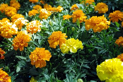 marigolds shade marigold sperling nursery gift shop