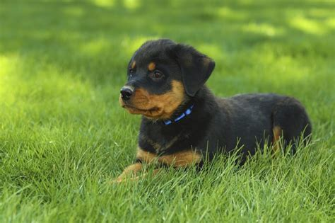american rottweiler puppies difference between an american rottweiler and a german rottweiler cuteness