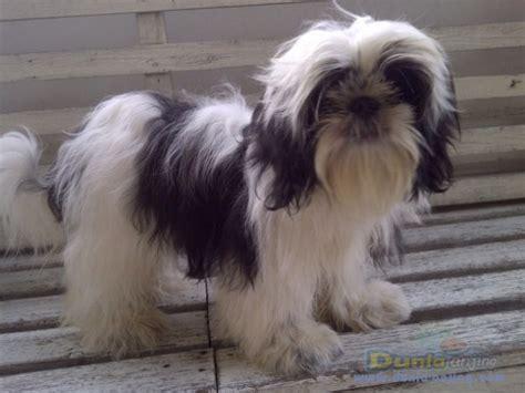 Mini Shih Tzu Istimewa dunia anjing jual anjing shih tzu dijual anakan shitzu