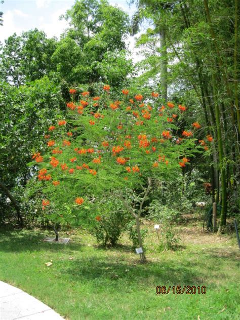 Garden Poinciana by Plant Curator Tropical Florida Gardens