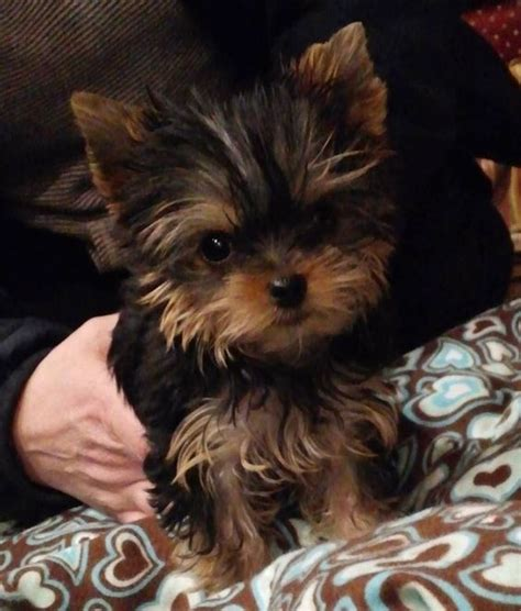 teacup yorkies in michigan priceless yorkie puppy michigan breeder specializing in teacup yorkie puppies for sale