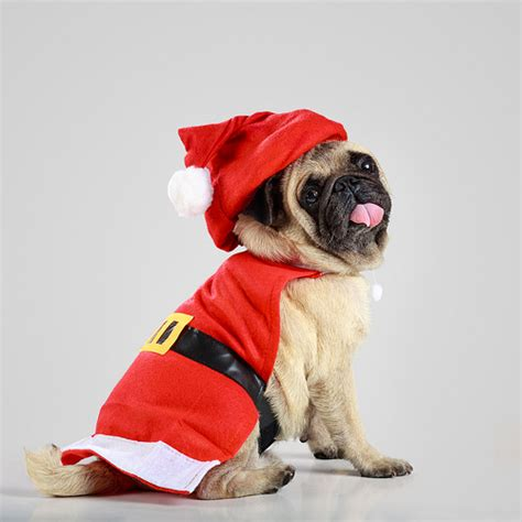 pug in santa costume pug puppy wearing a santa claus costume flickr photo