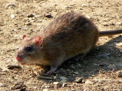 common backyard rodents brown rat wikipedia