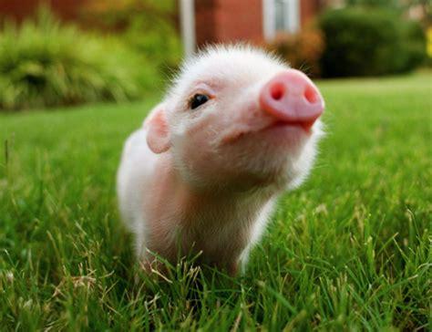 wallpaper cute pig pig wallpapers hd download