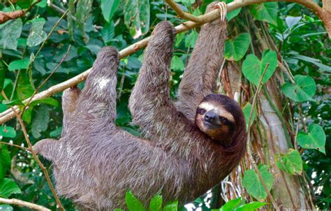 all tropical rainforests animals search results insectanatomy sloth facts for kids anatomy diet habitat behavior